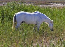 Traditional White Camargue Horse Royalty Free Stock Image
