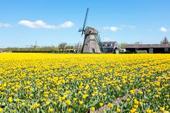 Traditional windmill with blossoming tulips in a dutch landscape Royalty Free Stock Images
