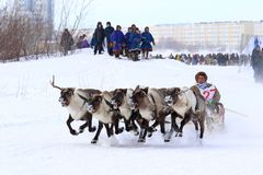 Traditional winter reindeer sled competitions among the indigeno. NADYM, RUSSIA - MARCH 04, 2018: Competitions on reindeer sledding during the traditional Nenets Royalty Free Stock Photography