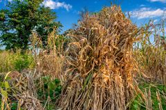 Traditionally Corn Harvest dry lying in farms royalty free stock images