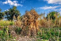 Traditioneel Graanoogst het droge liggen in landbouwbedrijven royalty-vrije stock foto's