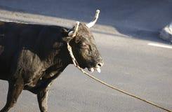 Traditioneel het stierenvechtenfeest van de Azoren in Terceira azores Toura Stock Afbeelding