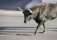 Traditioneel het stierenvechtenfeest van de Azoren in Terceira azores Toura Royalty-vrije Stock Fotografie
