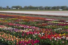 Traditioneel Nederlands tulpengebied met kleurrijke bloemen en landbouwbedrijven op de achtergrond stock afbeelding