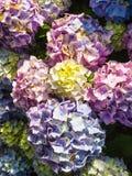 traditionele Bretonse hydrangea hortensiabloemen na regen stock foto's