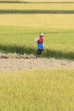 Traditionele geklede vrouw in een padieveld, Dali, China stock afbeelding