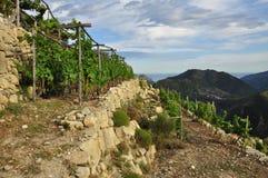 Traditionele mediterrane terrasvormige wijngaard, Ligurië Stock Foto's