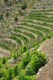 Traditionele mediterrane terrasvormige wijngaard, Ligurië Stock Afbeelding
