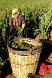 Traditionele tabaksarbeider royalty-vrije stock fotografie