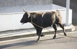 Traditionell azores bullfightingfestmåltid i Terceira azerbaijan Toura Royaltyfria Bilder