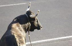Traditionell azores bullfightingfestmåltid i Terceira azerbaijan Toura Arkivfoto