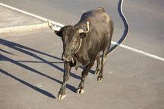 Traditionell azores bullfightingfestmåltid i Terceira azerbaijan Toura Arkivbild