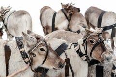 Traditionell ferie av folket av Sibirien Lag av renar royaltyfria foton