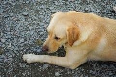 traditionell labrador för djur bakgrundhund älsklings- stående Arkivfoton