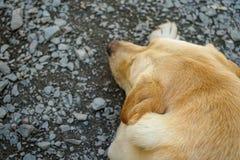 traditionell labrador för djur bakgrundhund älsklings- stående Royaltyfria Bilder