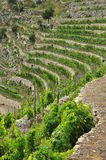 Traditionell medelhavs- terrasserad vingård, Liguria Fotografering för Bildbyråer