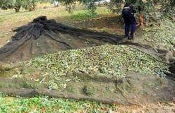 Traditionell olivgrön skörd, Andalusia, Spanien royaltyfri bild