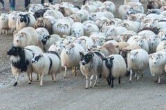 Traditionell sammankomst av får i Island Arkivfoton