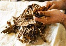Traditionell tillverkning av kubanska cigarrer på Kuban Royaltyfri Bild