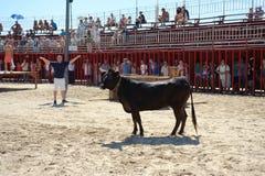 Traditionell tjurdeltagare i Javea, Spanien Fotografering för Bildbyråer