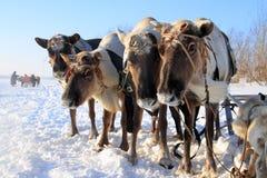 Traditionell transport av aboriginer av norden av Sibirien Royaltyfria Foton