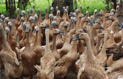 Traditionella Duck Farm i Purwokerto, centrala Java, Indonesien royaltyfria foton