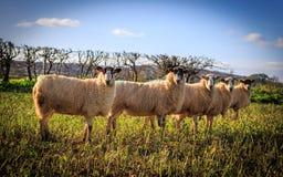 Traditionella engelska Sheeps Royaltyfria Bilder