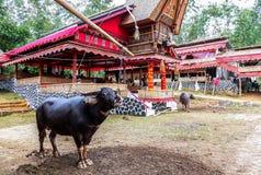 Traditionella festivaler av Torajan på Sulawesi royaltyfri fotografi