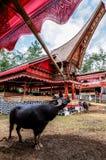 Traditionella festivaler av Torajan på Sulawesi royaltyfri bild