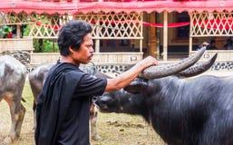Traditionella festivaler av Torajan på Sulawesi arkivfoton