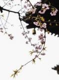Traditionella japanska taktegelplattor och blommasakura blommar i S Royaltyfria Foton