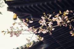 Traditionella japanska taktegelplattor och blommasakura blommar i S Fotografering för Bildbyråer