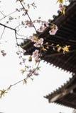 Traditionella japanska taktegelplattor och blommasakura blommar i S Royaltyfri Fotografi