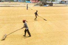Traditionella ris maler arbetarvänd över risfält för att torka royaltyfri foto