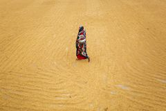 Traditionella ris maler arbetarvänd över risfält för att torka royaltyfri fotografi