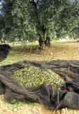 Traditionelle Ernte von Olivenbäumen eigenhändig in Andalusien, Spanien Lizenzfreies Stockfoto
