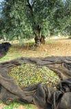 Traditionelle Ernte von Olivenbäumen eigenhändig in Andalusien, Spanien Lizenzfreie Stockfotos
