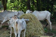 Traditionelle Fütterung in Kambodscha Stockfoto