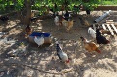 Traditionelle Freilandgeflügelzucht Hühner lizenzfreie stockfotografie