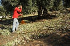 Traditionelle olivgrüne Ernte, Andalusien, Spanien Lizenzfreies Stockfoto