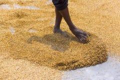 Traditionelle Reismühle-Arbeitskraft drehen Paddy für das Trocknen um lizenzfreies stockfoto