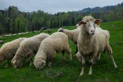 Traditionelle Schafe, die auf Hügeln in polnischer Tatry-Gebirgsausrichtung weiden lassen lizenzfreie stockfotografie