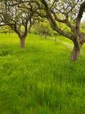 Traditioneller Frucht-Obstgarten im Frühjahr, England Stockfotografie