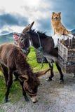 Traditioneller gekleideter Mann in Irland mit zwei Eseln und einem Hund Lizenzfreie Stockbilder