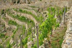 Traditioneller terassenförmig angelegter Mittelmeerweinberg, Ligurien Lizenzfreies Stockfoto