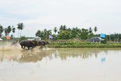 Traditionelles Büffellaufen Lizenzfreie Stockfotos