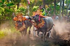 Traditionelles Kuh-Rennen Balis Lizenzfreie Stockfotografie