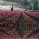 Traditionelles niederländisches Feld von Tulpen Stockfotos