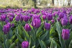 Traditionelles niederländisches Tulpenfeld stockbilder