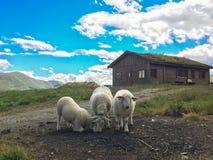 Traditionelles norwegisches Haus mit Grasdach und lokalen weißen Schafen Lizenzfreie Stockfotos